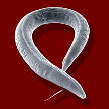 az emberben élő helminták típusai és hogyan