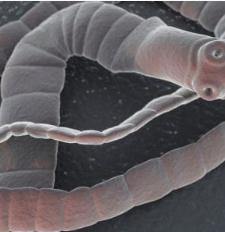 Képek a parazitákról, helmintákról