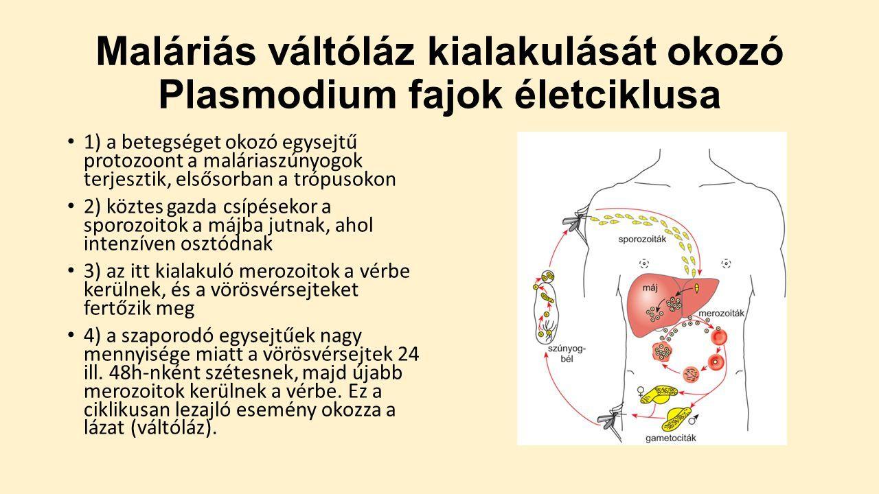 maláriás plazmodium makrogametocita)