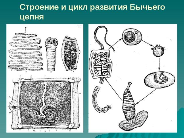 a széles szalagféreg hermaphroditikus szegmense