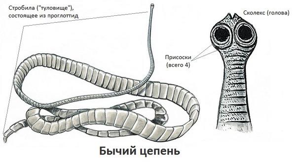 fegyvertelen bika szalagféreg)