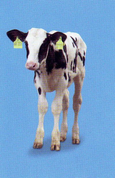 Aszcariasis szarvasmarha. Terhes aszcariasis