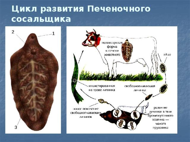 Férgek bika szalagféreg kezelés
