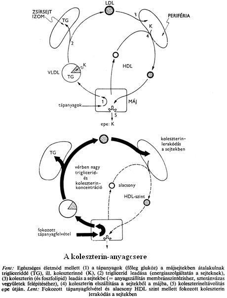 Ascaris kapcsolódási szervek. A betegség