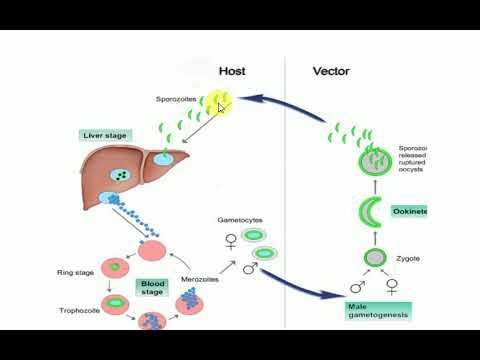 eubacterium kenet férfiakban)