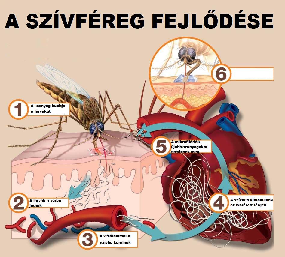 szivféreg gyakori kerdesek