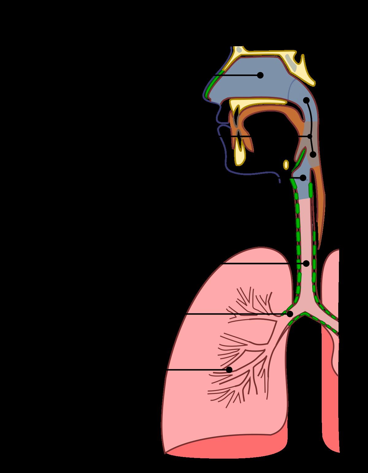 Az ember körféreg légúti szervei