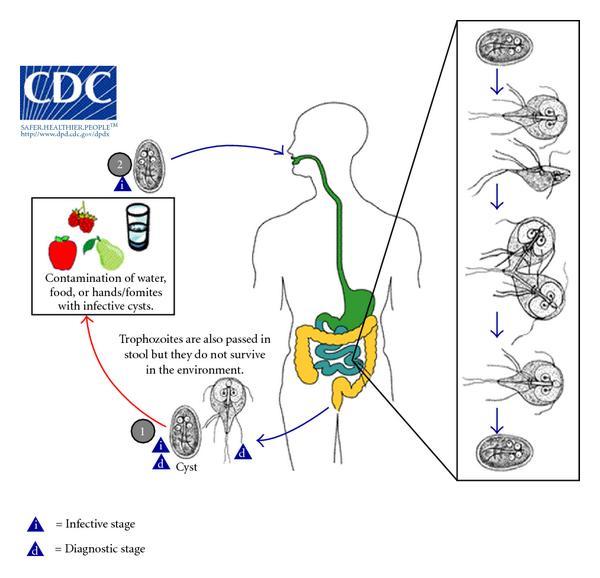 cdc giardia duodenalis