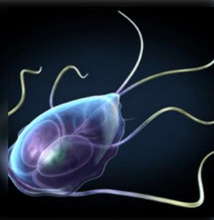 Giardiasis paraziták kezelése