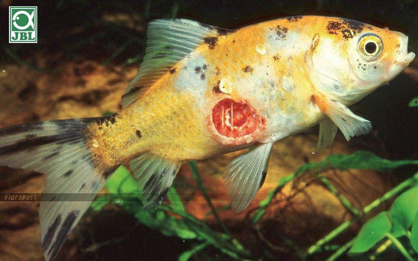 mely halaknak vannak több parazita)