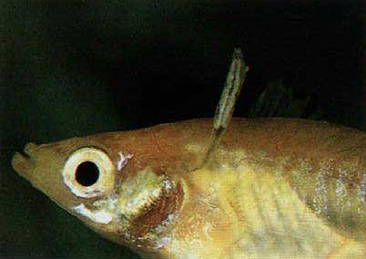 hal bőr parazita)