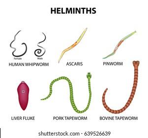 zagyvabanda.hu - Pinworm diagram