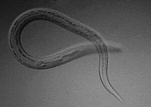 Amadins parazita kezelés