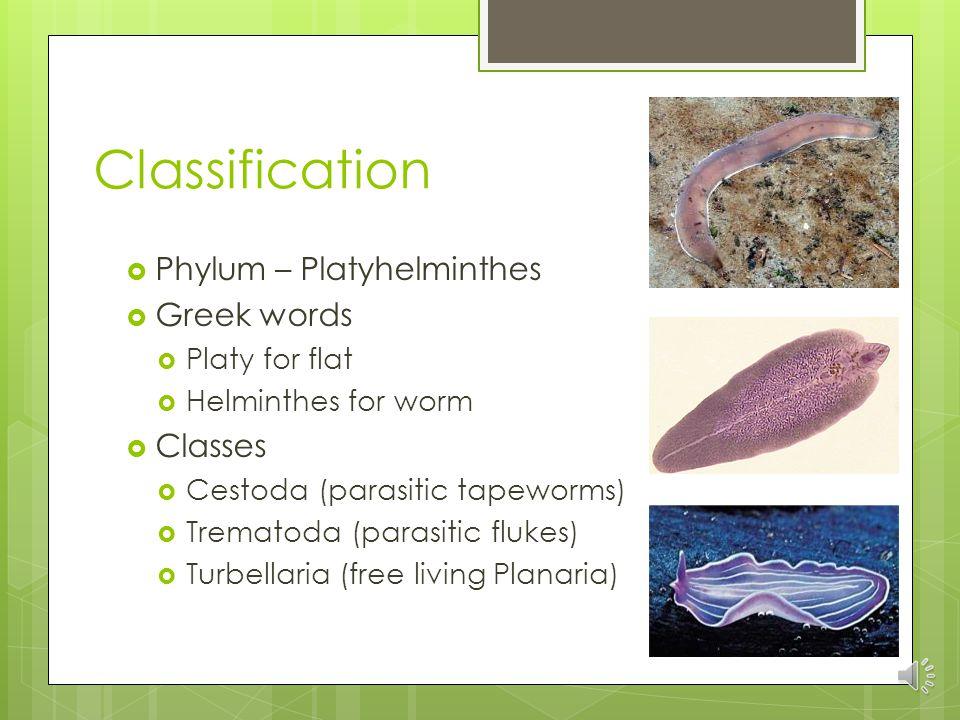 phylum platyhelminthes quizlet