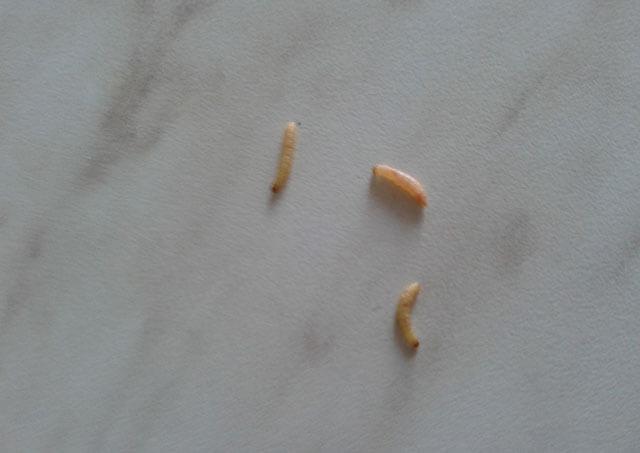 A férgek a székletben, valamint helminthiasisok tojás, Kerek féreg halott a székletben