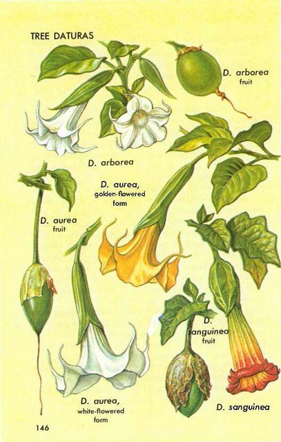 gyógynövények datura a parazitákból