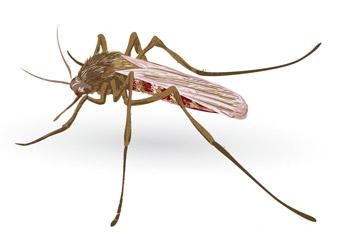 Intraerythrocytic paraziták -
