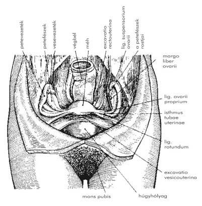 ureaplasma arány a férfiak táblázatában