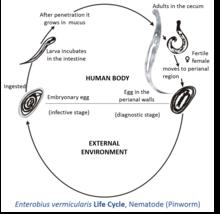 Pinworms host változás, Önátadás: mi és hogyan történik?