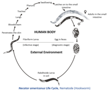 a helminthiasis patogenezise