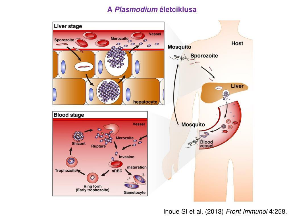 asztma paraziták a betegség széles galandféreg neve