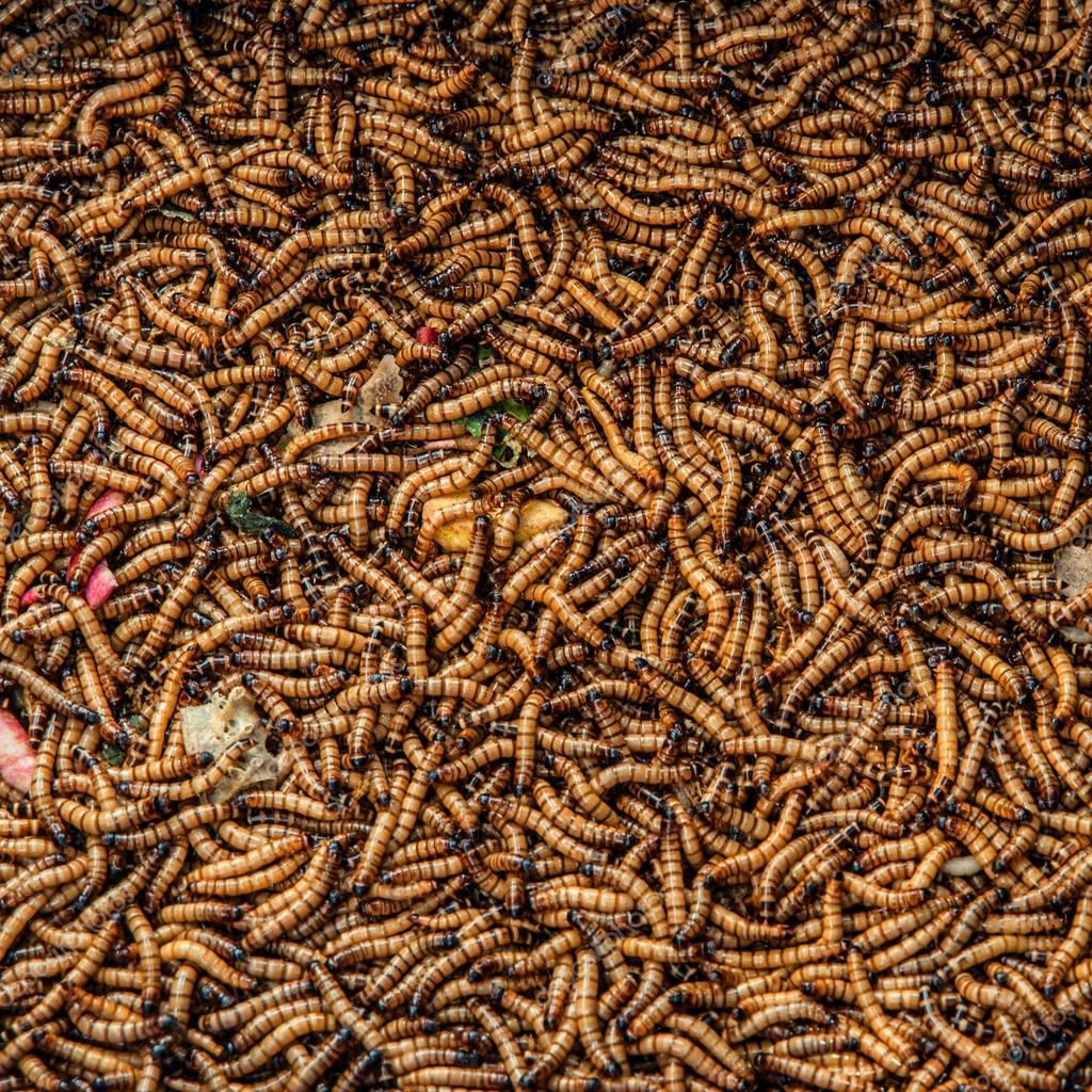 a pinworms átvitele)