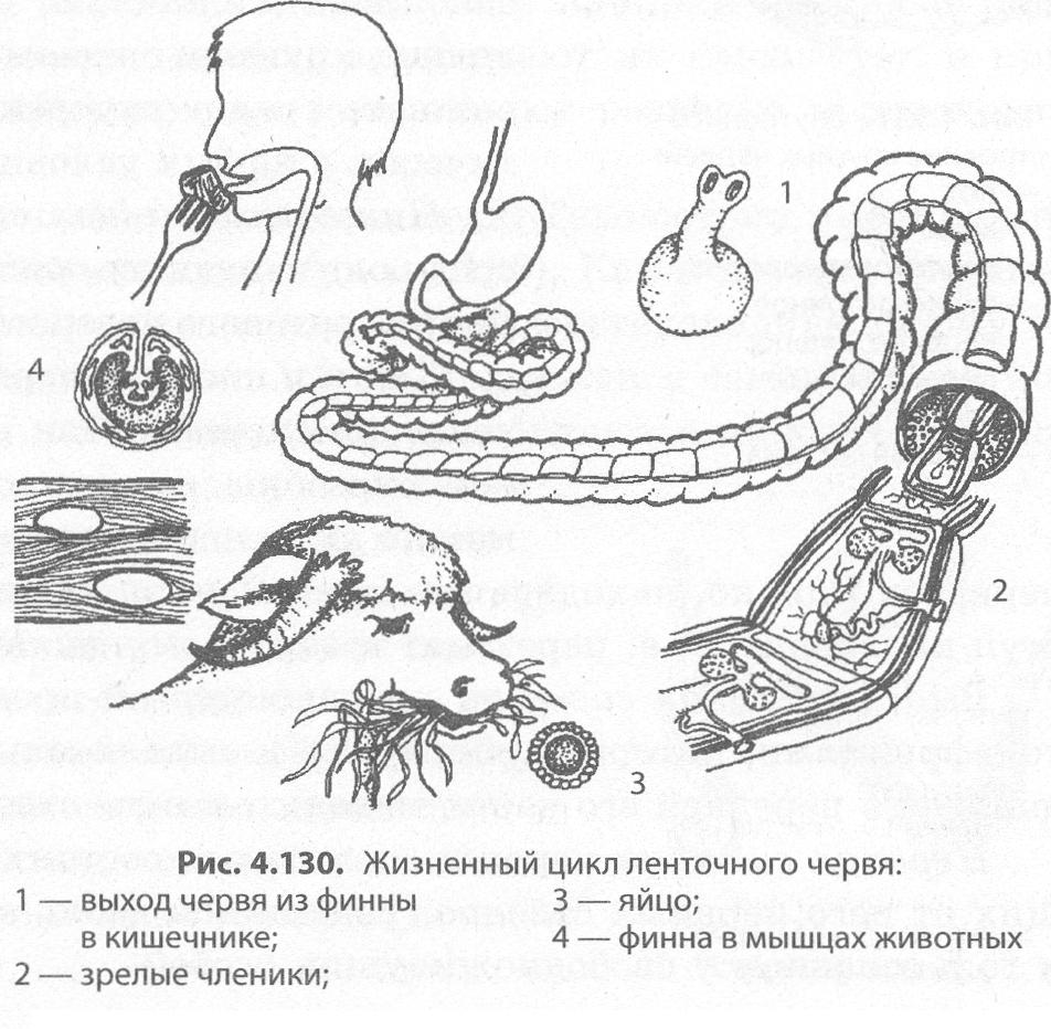 a szarvasmarha szalagféreg idegrendszerét képviselik