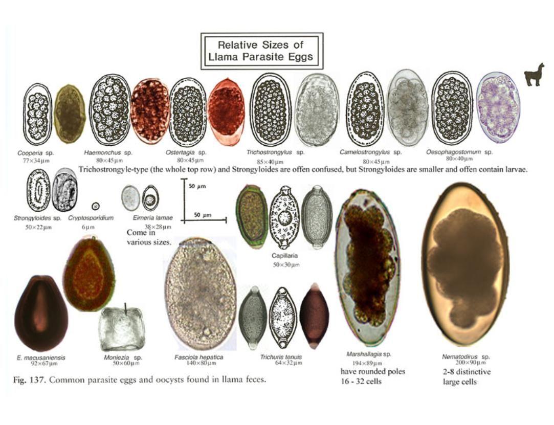 a tojás strongyloidosis készítmények az epehólyag parazitáira