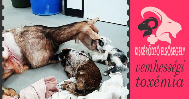 Férgek elleni gyógyszer vemhes szukák számára - Kisállatorvos - Mit tegyünk, ha álvemhes a kutyánk?