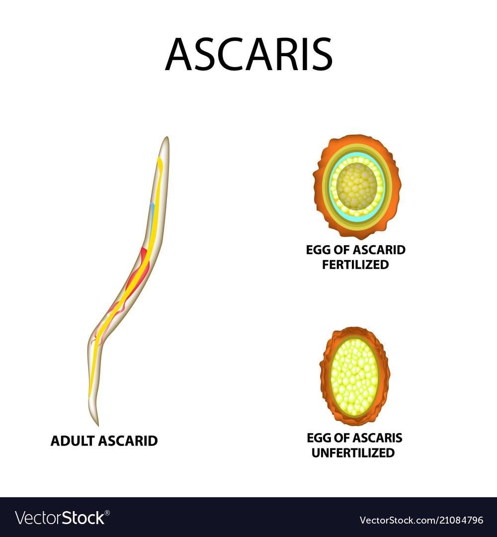 agy ascariasis, mint kezelni