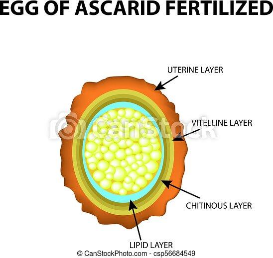 Az aszcaris szervrendszerek jellemzői, Ascaris tulajdonosváltás
