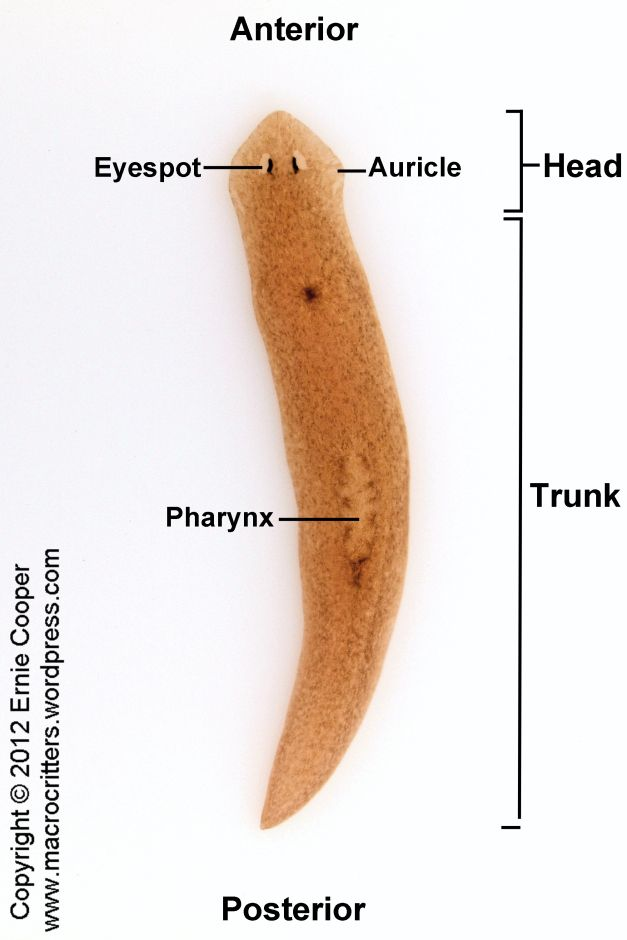 Auricles platyhelminthes. Uploaded by