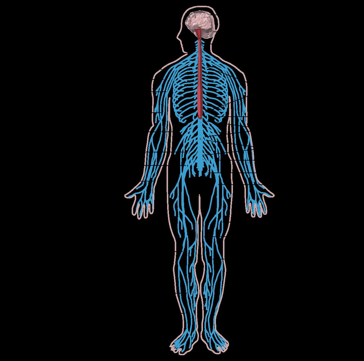 az agy a test parazita