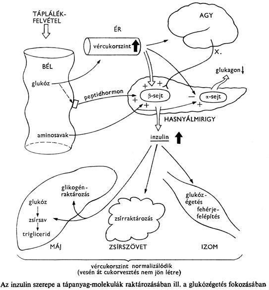 Az Ascaris kapcsolódási szervei