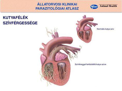 Kedvenceinket veszélyezteti a szívférgesség | ZAOL