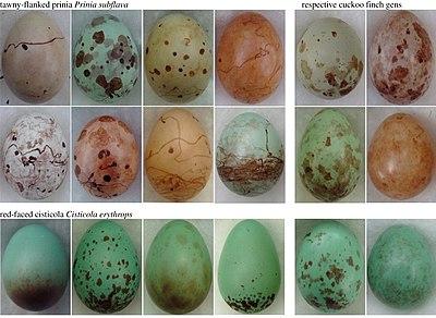parazita tojások)