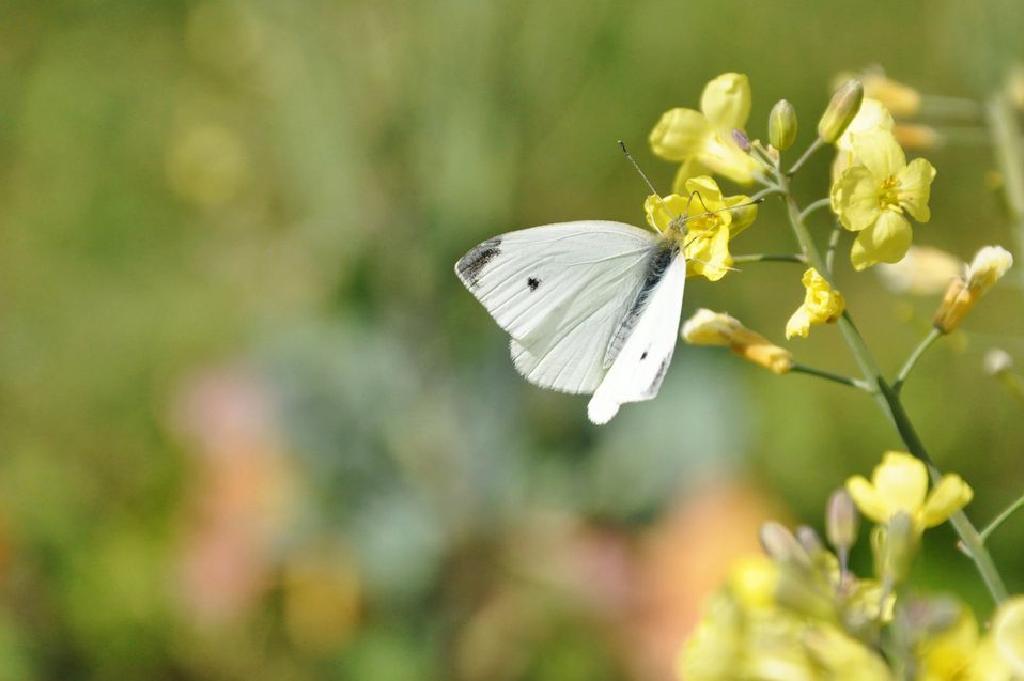 pillangó féreg