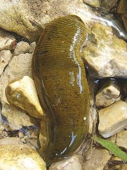A halak külső parazitái