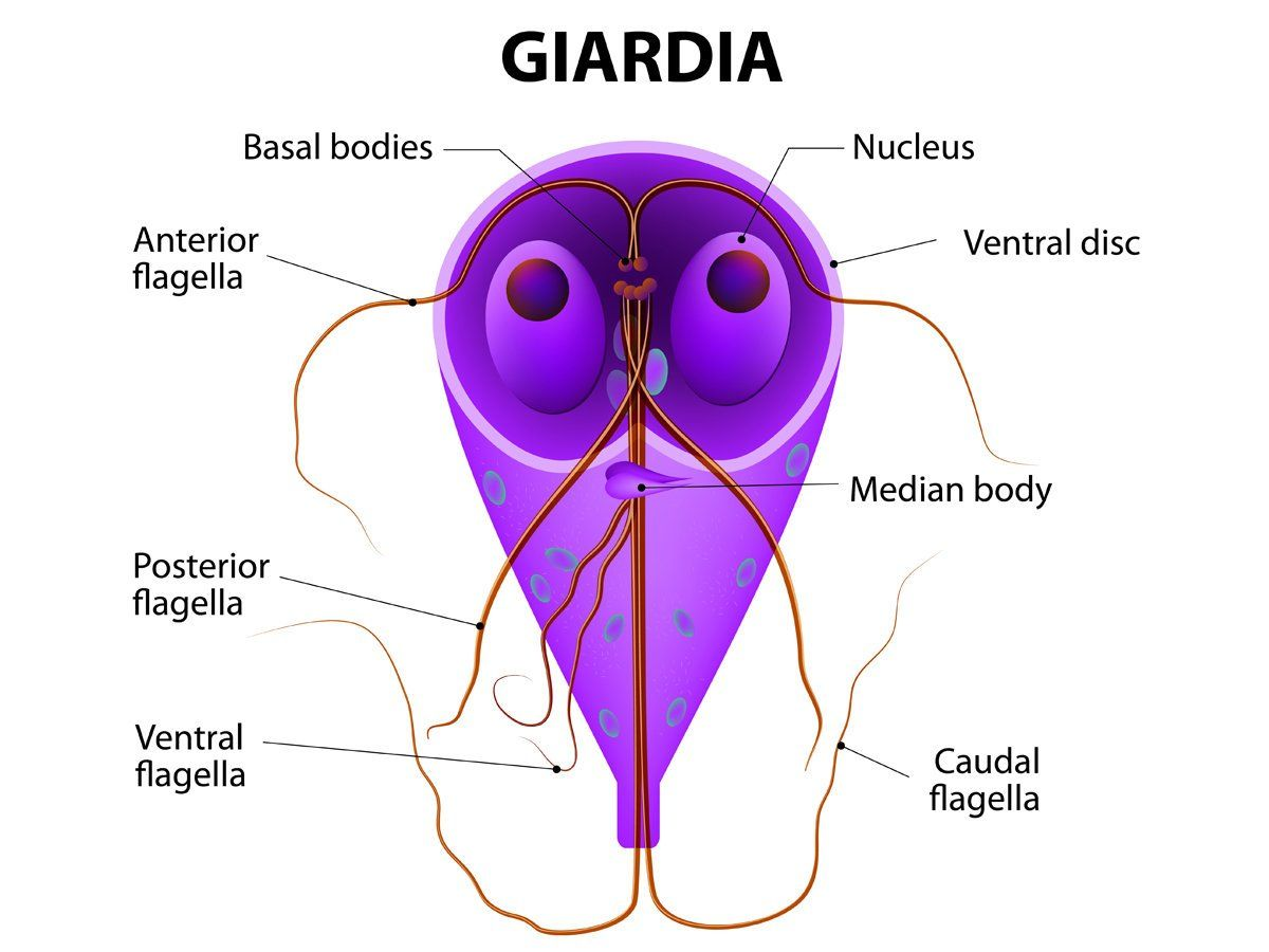 giardia natural treatment garlic