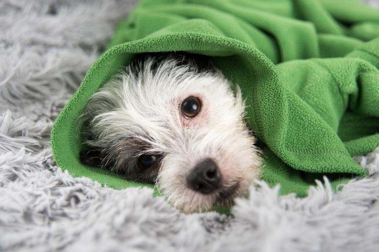 szívféreg kezelése kutyáknál