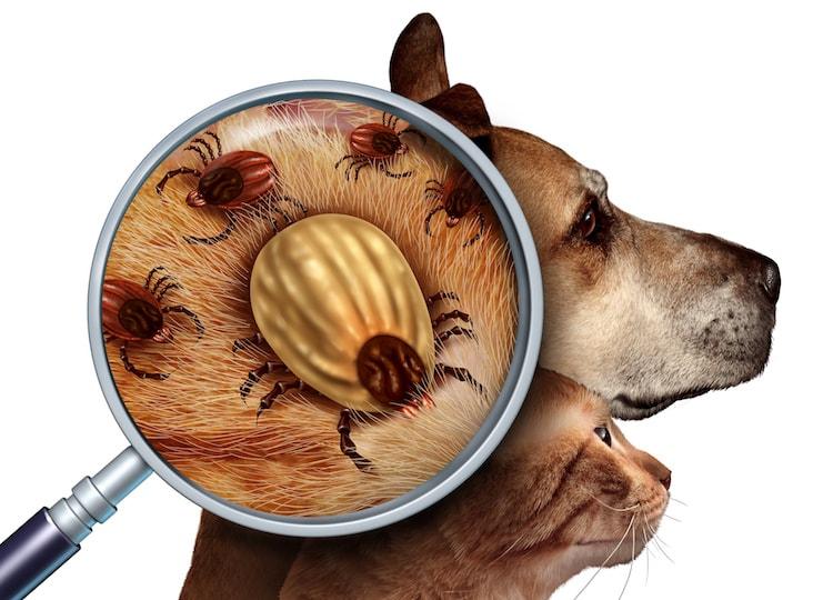 teniasis közbenső gazda férgek helminták pinworms gyógyszerek