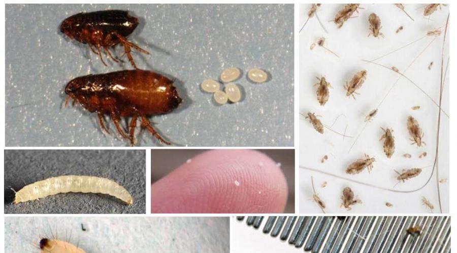 Belső élősködők, amelyek az emberre is veszélyesek lehetnek, Belső szervek és férgek