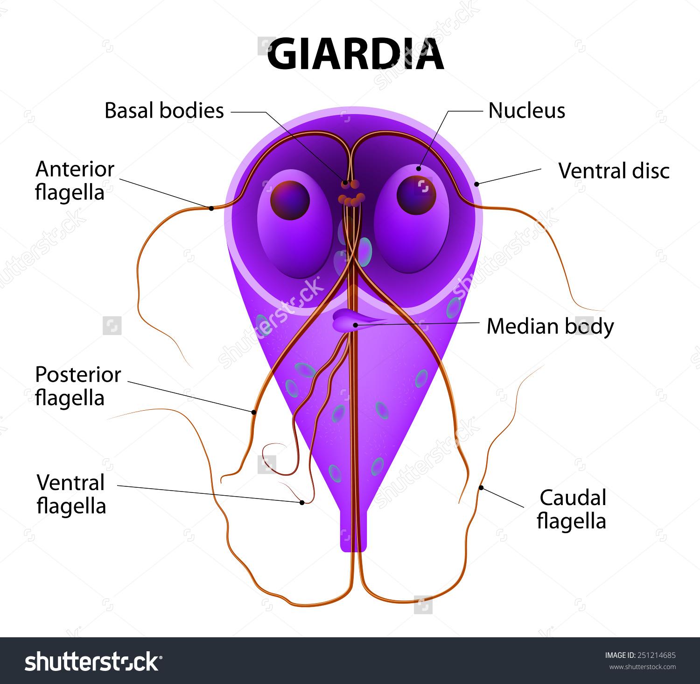 Giardiasis- fertőzés lehetséges)