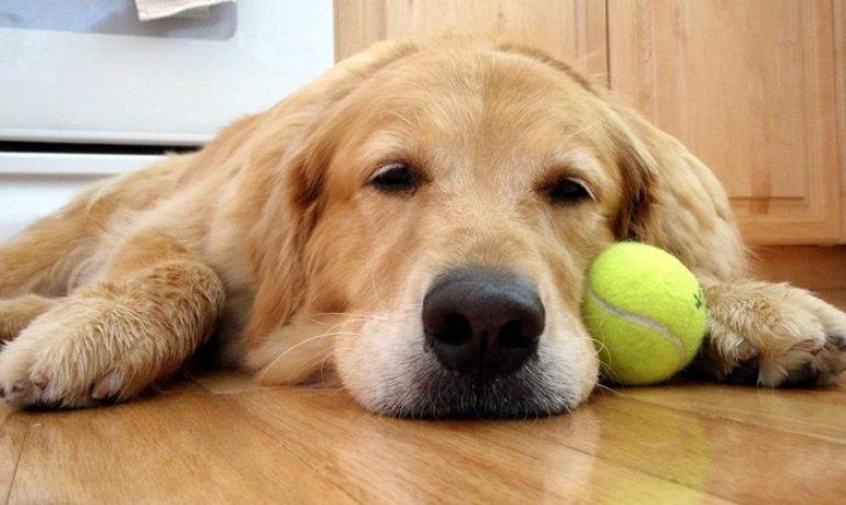 giardia resistente tratamiento perros