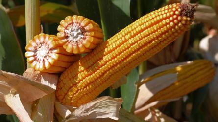 fonalfereg kukorica)