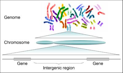 férgek típusú férgek az emberi kromoszómákban)