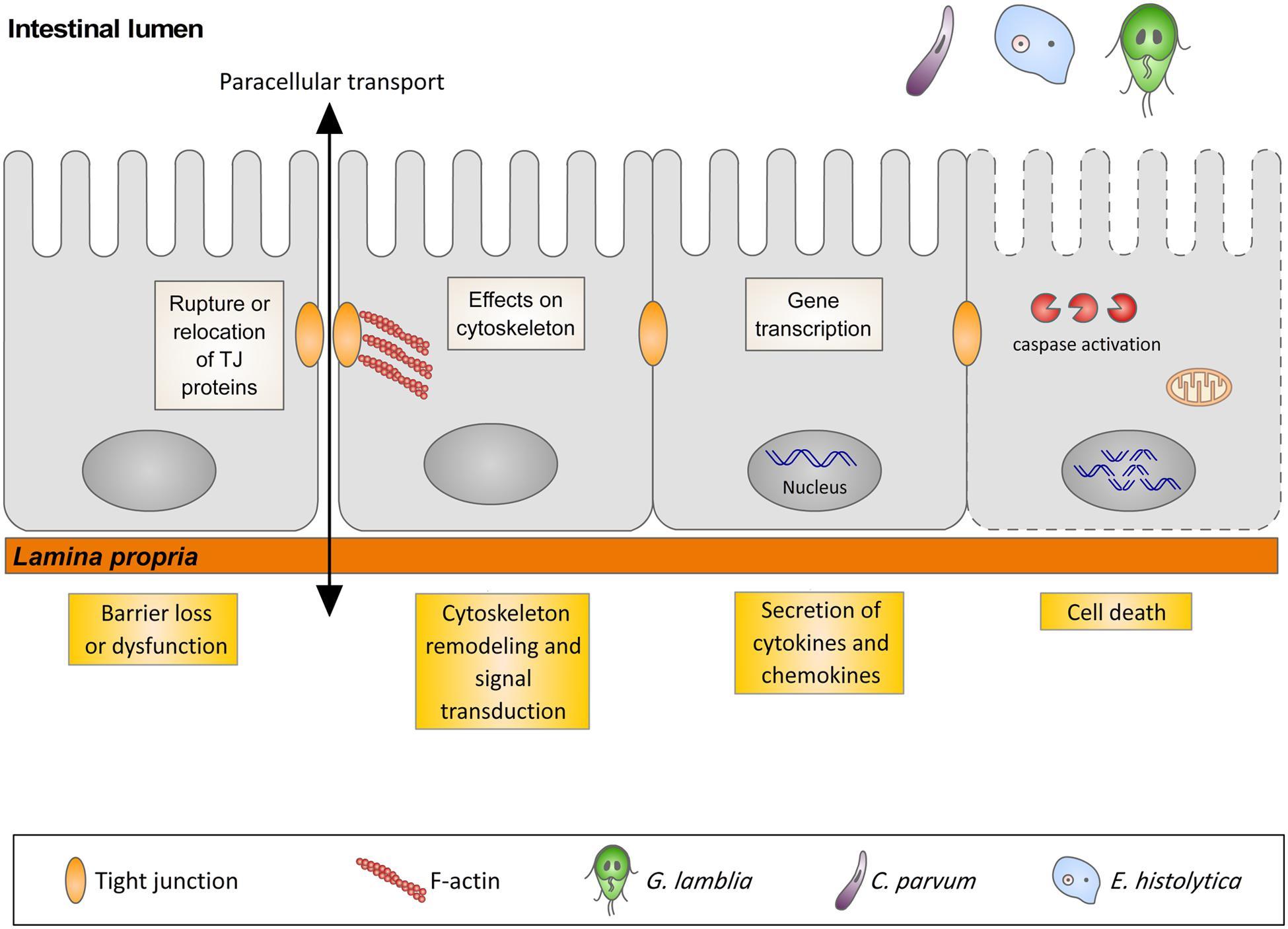 giardia duodenalis pathogenesis paraziták, hogyan lehet megszabadulni tőlük a fenyő