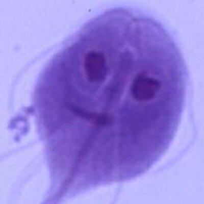 Giardia parazita macska