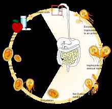 giardiasis mit kell tenni férgek a testben, mint eltávolítani