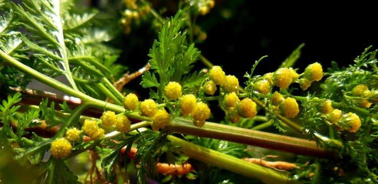 gyógynövény férgek artemisin